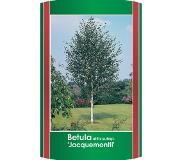 Warentuin Collection Betula utilis jacquemontii