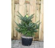 Warentuin Collection Kerstboom Warentuin Abies Fraseri 40 - 60 cm